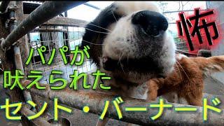 超大型犬メロンちゃん♥ ボスパパいつも起こすから吠えられてビックリ( °...