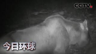 [今日环球] 内蒙古大兴安岭原始林区拍到驼鹿觅食影像 | CCTV中文国际