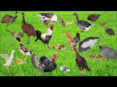 Домашние птицы и их птенцы
