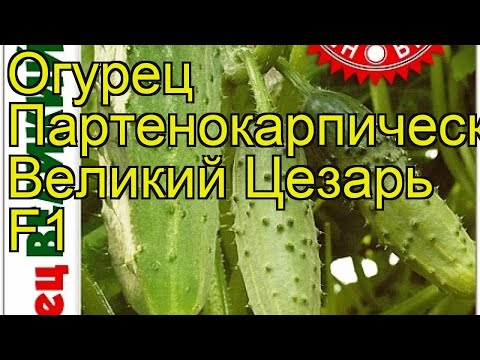 Огурец партенокарпический Великий Цезарь F1. Краткий обзор cucumis sativus Velikij TCezar F1
