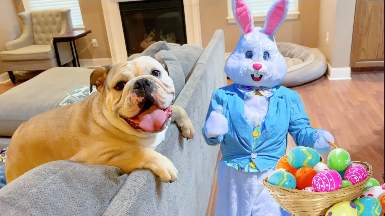 CUTE Bulldog REACTS to EASTER BUNNY!