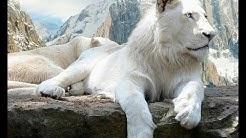 😢  Die letzten weißen Löwen - Doku 2018 😢