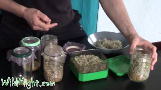 comment faire germer un gland