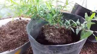 Trồng cây lựu Thái vào chậu nhựa