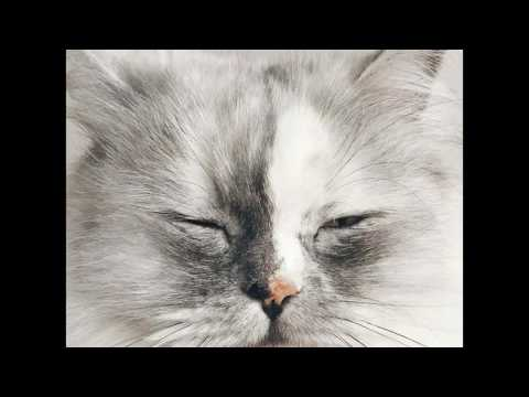hypoallergenic cat breeds |  ocicat |  siberian house cat | My videos slid