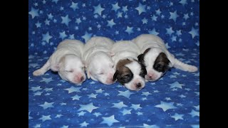 Coton Puppies For Sale - 1/19/20