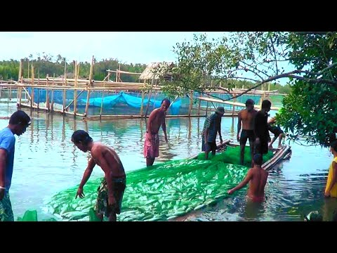 Amazing Milkfish Harvest- Thousands Of Milkfish Harvested In The Philippines