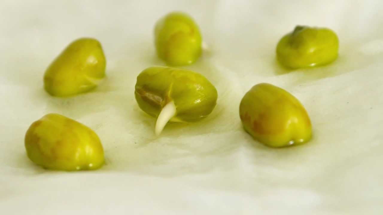 Time Lapse Mung Bean Germination Youtube Diagram It Works From