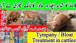 Tympany   Bloat   Tympany / Bloat in cattle   Bloated cow treatment   گاۓ کوشدید اپھارہ کا مکمل علاج