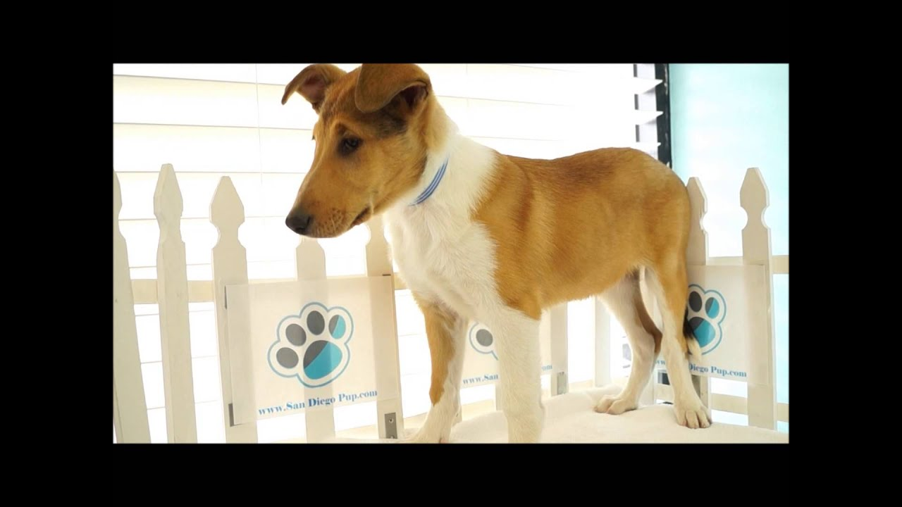 Smooth Coat Collie Puppies at San Diego Puppy! - YouTube
