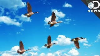 The Real Reason Birds Fly In A V-Formation