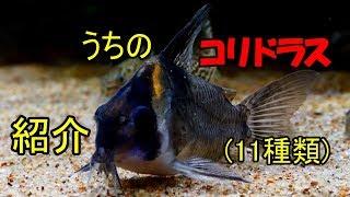 【水槽239】うちのコリドラス11種類の紹介 thumbnail