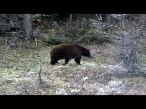 Brown Black Bear in Yellowstone National Park