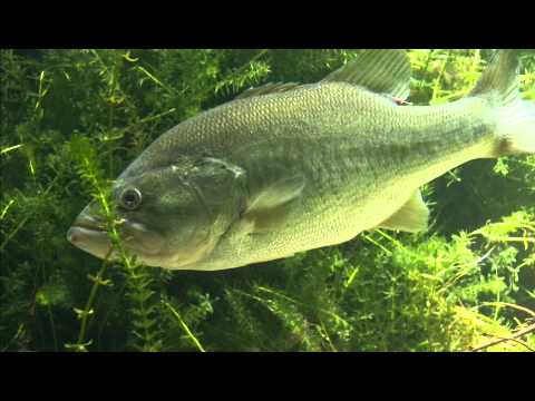 Bass Fishing for Beginners: The Bass