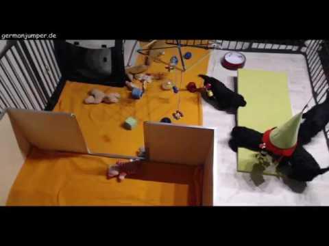 portugiesischer wasserhund welpen a wurf oktober 2016 youtube. Black Bedroom Furniture Sets. Home Design Ideas