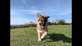 Olive the German Shepherd Puppy - 3 Weeks Residential Dog Training