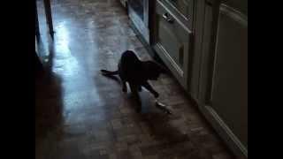 Силуэты абиссинской кошки занятой игрой.