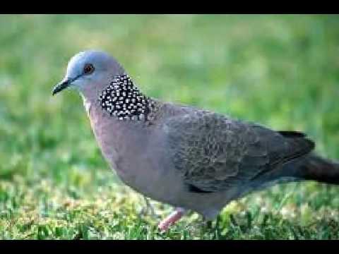 Suara Burung Perkutut Merdu MP3
