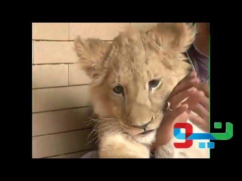 Actress Babra Sharif Adopted Tiger in lahore