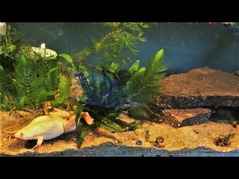 African Clawed Frog Tank Setup & Care (Xenopus laevis)