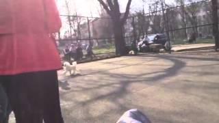 Выставка собак Курск 26.04 пудель миниатюра юниор