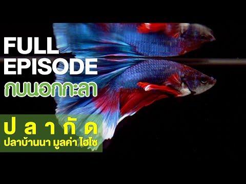ปลากัด ปลาบ้านนา มูลค่าไฮโซ - Full - วันที่ 24 May 2018