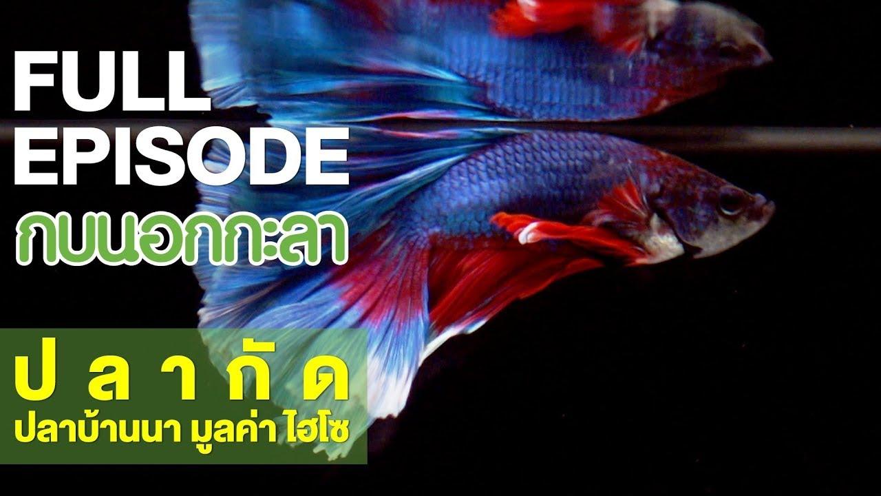 กบนอกกะลา : ปลากัด ปลาบ้านนา มูลค่าไฮโซ | FULL (24 พ.ค.61)