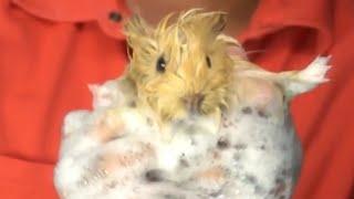 Морские свинки—купание морской свинки