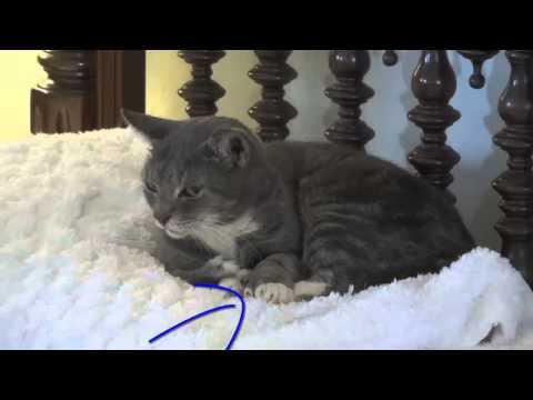 Six toed cat Ernest Hemingway House Key West. Шестипалые кошки музей Хэменгуея. Кей Вест HelenLin