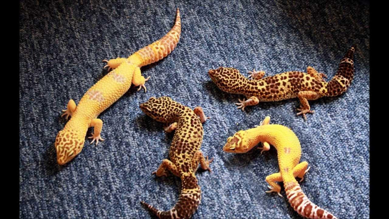 Reptile Carpet Or Sand For Leopard Geckos Meze Blog