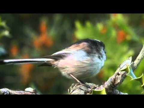 Long Tailed Tit Singing