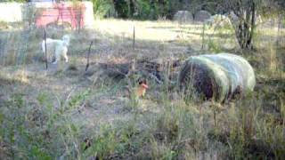 West Tennessee Beagle Kennels - Beagles Hunt Rabbit