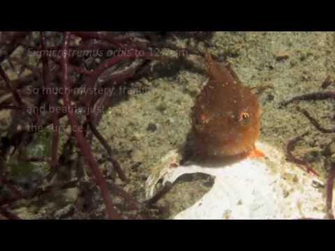 Pacific Spiny Lumpsucker Swimming