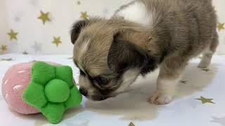 ペットショップ 犬の家 富士店 「チワワ(ロング)」「101538」 thumbnail