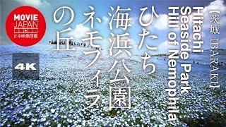 ひたち海浜公園ネモフィラの丘 ネモフィラの丘 検索動画 26