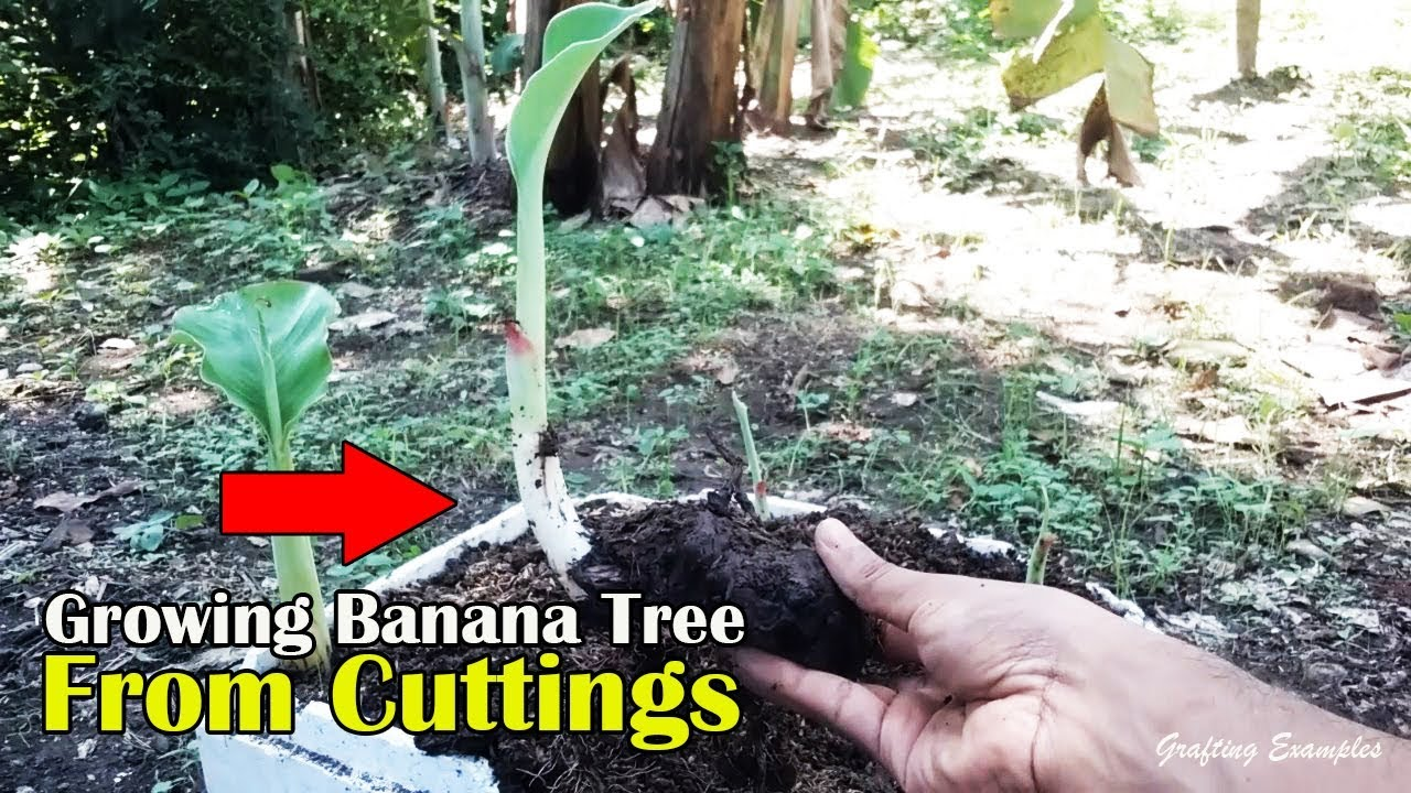 Repeat Growing Banana Tree From Cuttings By Grafting