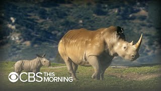 The Fight To Save The Northern White Rhino