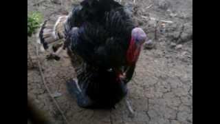 Trại gà tây Thanh Bình.Chuyên cung cấp con giống cho bà con chăn nuôi (Tổng hợp đạp mái)