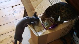 Sphynx and bengal fight it out
