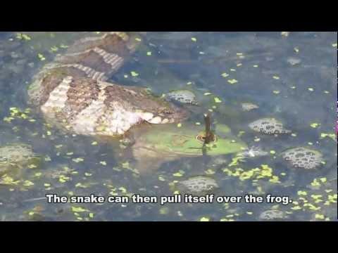 Northern Water Snake Eating BIG BULLFROG