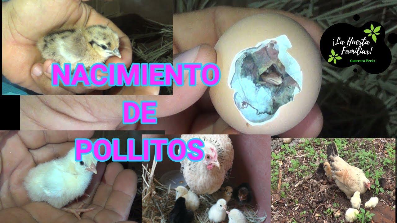 NACIMIENTO DE POLLITOS // EN LA HUERTA 🐣🐣🐥