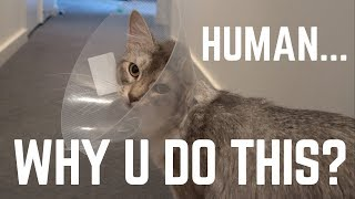 Cat's reaction to wearing a cone