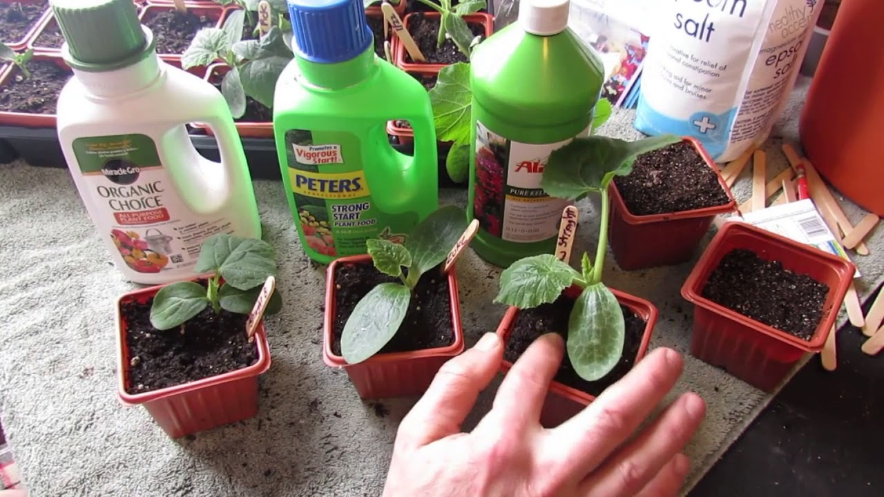 What fertilizers are needed for cucumbers? Fertilizers for cucumbers in open ground and in the greenhouse. Potash, nitrogen, mineral fertilizers for cucumbers 79