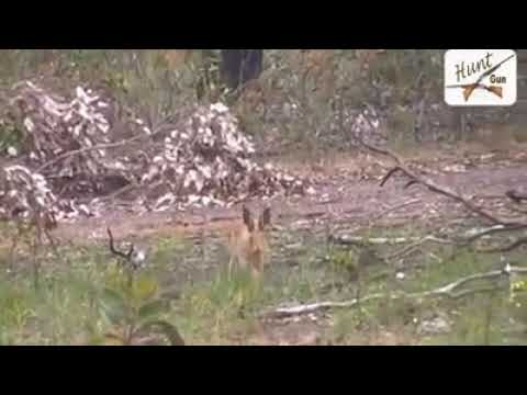 tavşan sesi