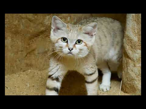 Sand Cat Facts  Interesting Facts about Sand Cat  Facts about Sand Cat