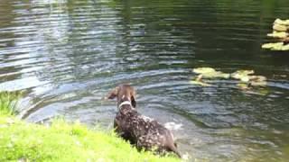 Ellie, First Swim. German Short Haired Pointer. Gsp.
