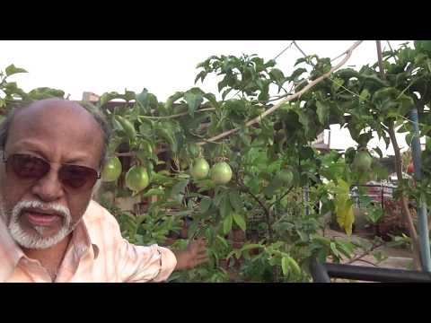 Organic Passion fruits in Mysuru, India, to stop malnutrition in children in poor countries