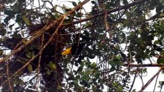 oiseaux du Venezuela