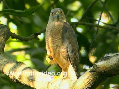 A common hawk - Shikra