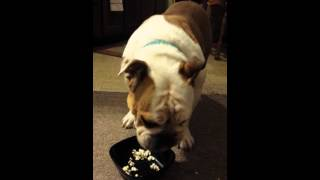 English Bulldog Eating Bowl Of Popcorn